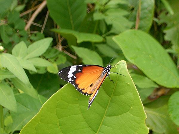 060903由布島の蝶