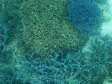 川平湾・サンゴ