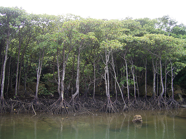 060902西表島のマングローブ