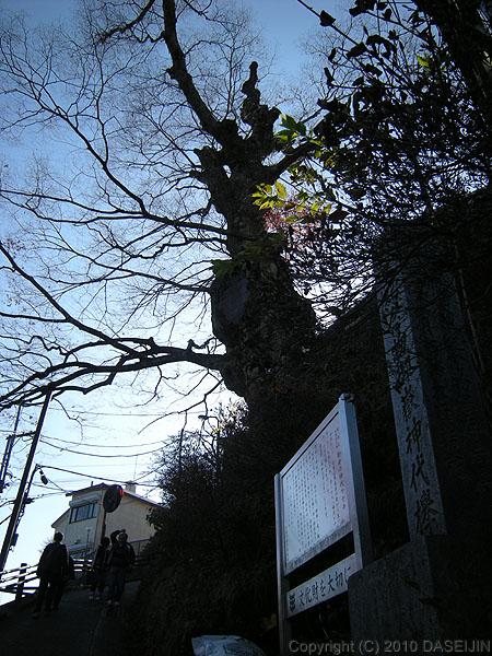 101128御岳山・御岳の神代ケヤキ