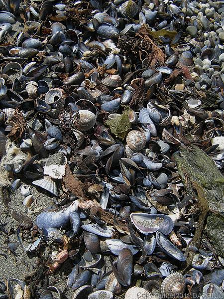 110105マゼラン海峡のムラサキ貝