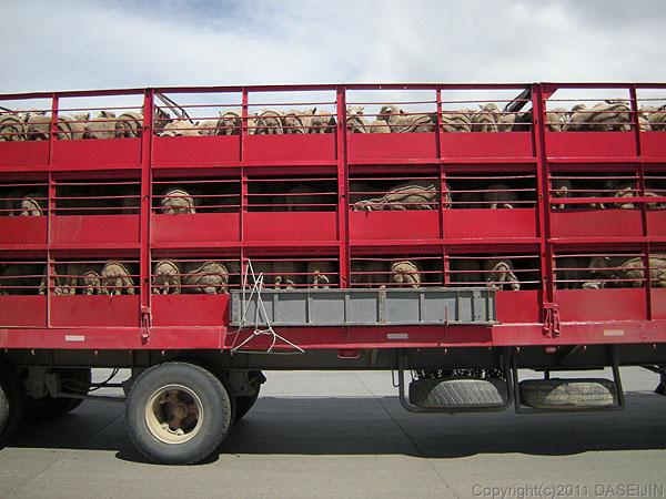 110105マゼラン海峡・フェリーから下りる羊を乗せたトラック