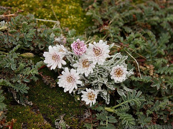 110106フエゴ島・ウスアイア、マルティアル氷河の花1