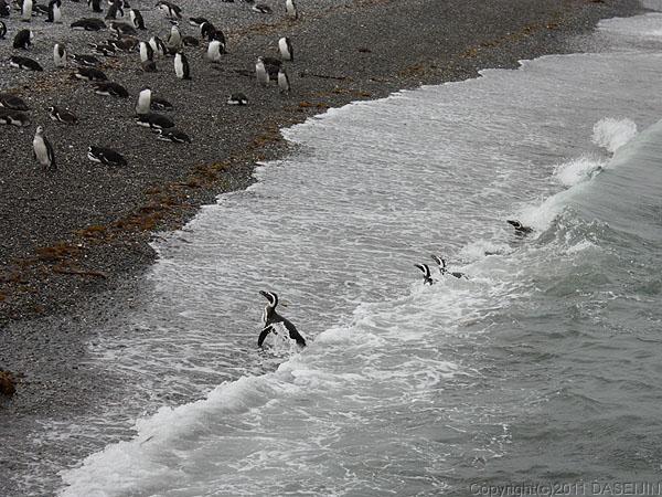 110106フエゴ島・ビーグル水道ケーブル島の浜で泳ぐペンギン達