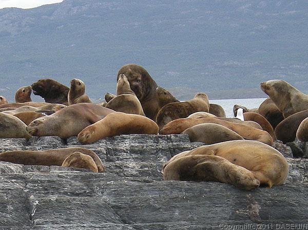 110106フエゴ島・ビーグル水道、ロス・ロボス島のオタリア
