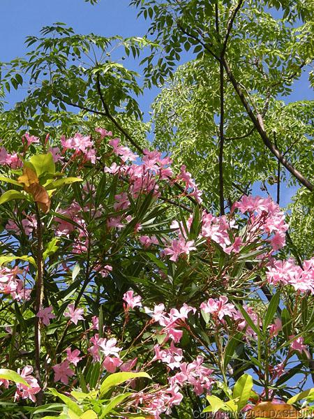 110108コロニア・デル・サクラメント、石楠花が咲いている