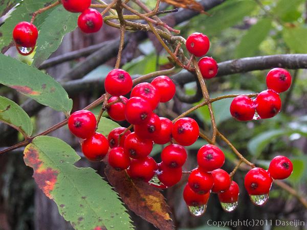 110923雨に濡れる赤い実