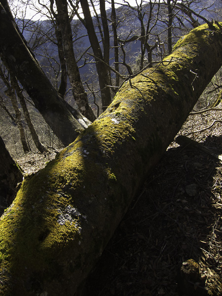 111204丹沢・苔むした倒木