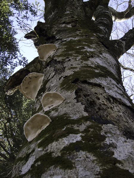 111204丹沢・キノコがはえた木