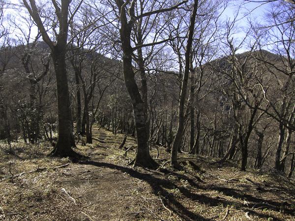 111204丹沢・丹沢山へのブナの尾根