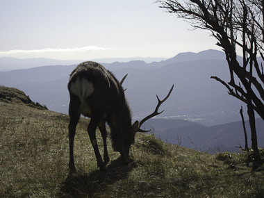 111204丹沢・塔ノ岳の鹿