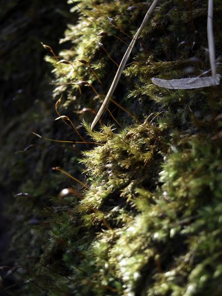 111204丹沢・冬枯れの山の苔