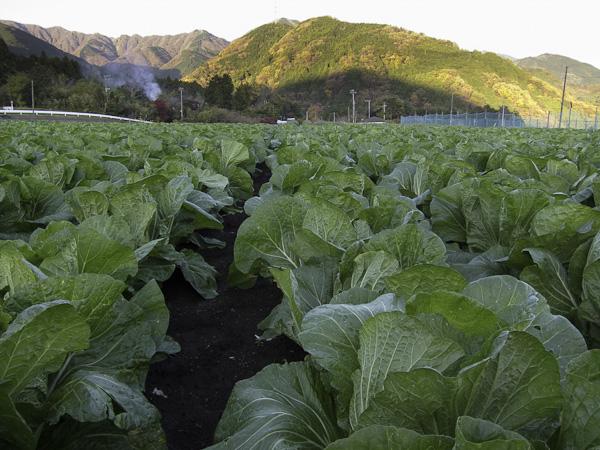 111204丹沢・白菜畑のわきにでた