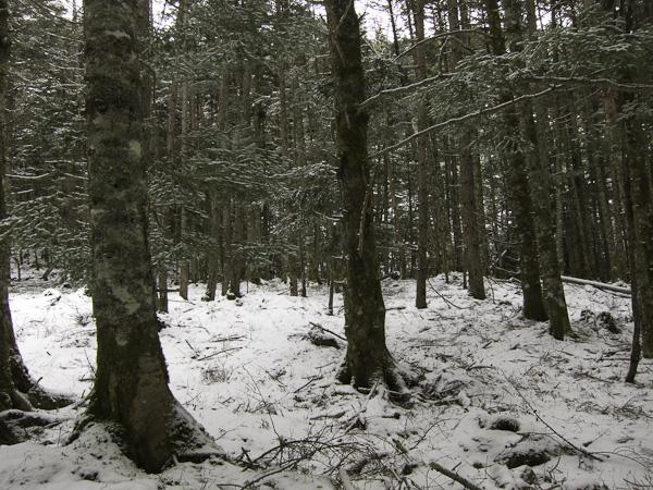 111225八ヶ岳・針葉樹の森