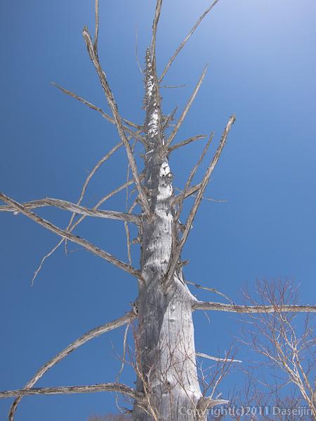 120428平ヶ岳・立ち枯れの木と青空