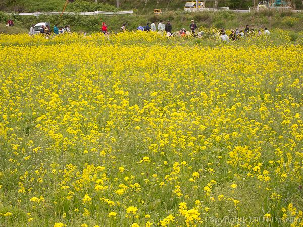 120512ボランティア・菜の花畑でお昼ご飯