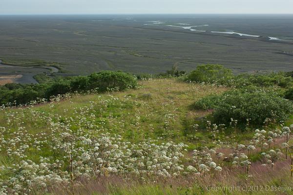 120806アイスランド、グリーンランドの旅・シシウドの草原