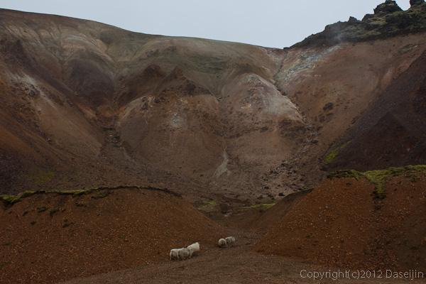 120809アイスランド、グリーンランドの旅・こんなところにも羊が