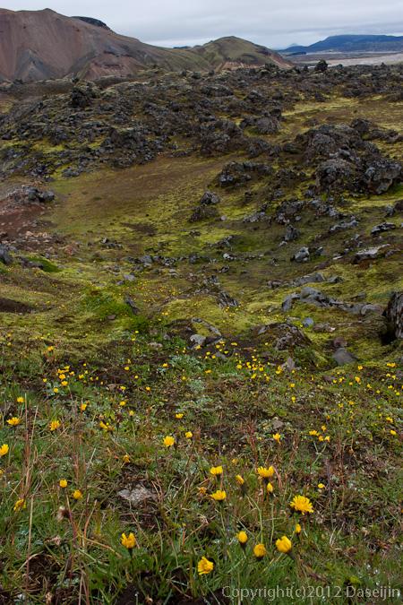 120809アイスランド、グリーンランドの旅・ここにだけたくさん咲いている