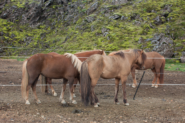120809アイスランド、グリーンランドの旅・キャンプ場の裏にいた馬