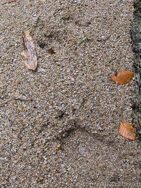 121007恋ノ岐・熊の足跡